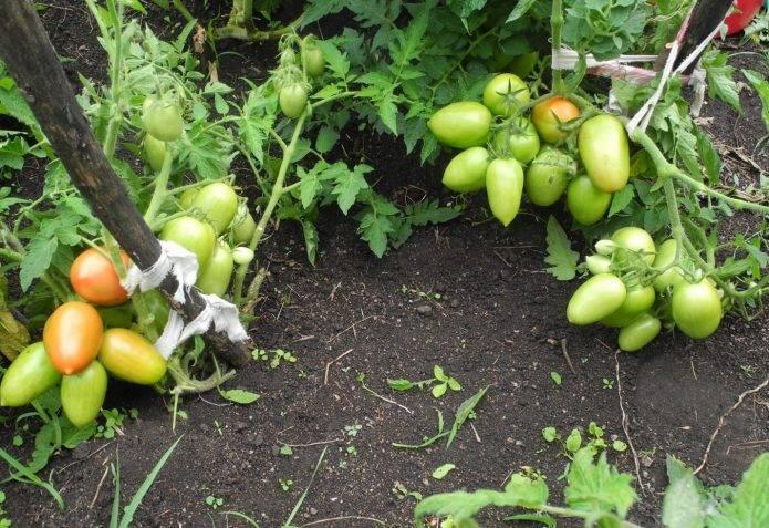 «сибирская тройка» – один из лучших помидоров для открытого грунта