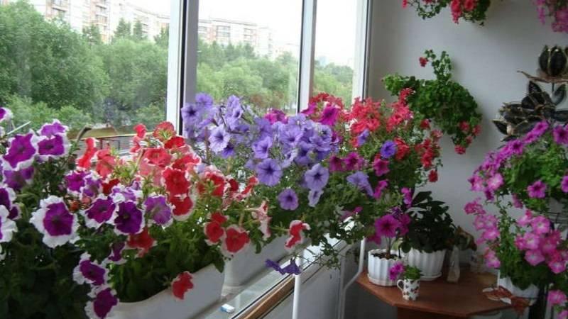 Как сохранить петунию до весны следующего года в домашних условиях