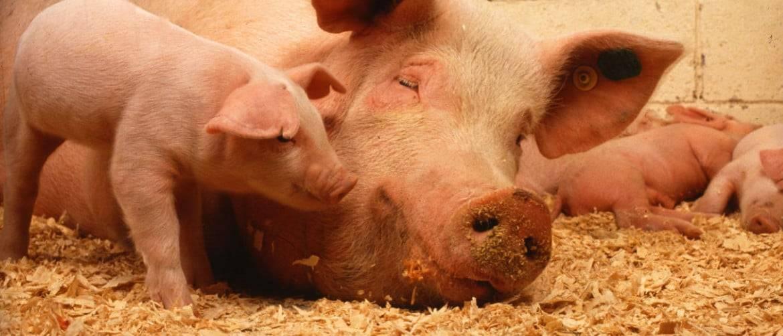 Чем опасна рожа у свиней? чем лечить и как предотвратить заболевание?