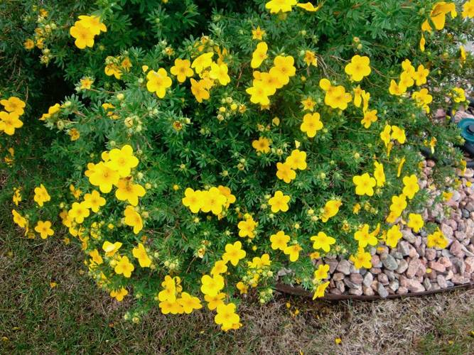 Описание и выращивание лапчатки кустарниковой сорта ред айс, посадка и уход