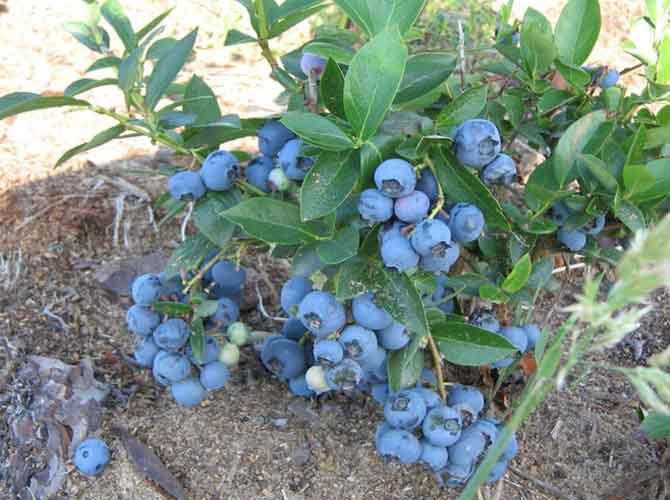 Голубика садовая: особенности выращивания в подмосковье