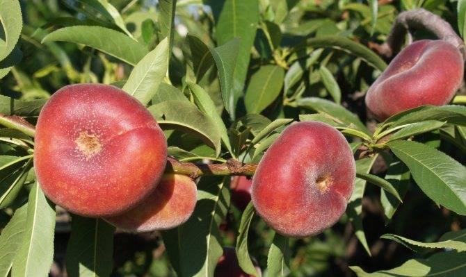 Персик инжирный: описание + фото
