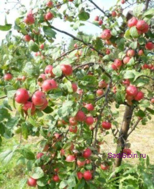 Лучшие 10 сортов яблонь для средней полосы