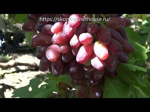 Сорт винограда синдикат: характеристика, выращивания и уход