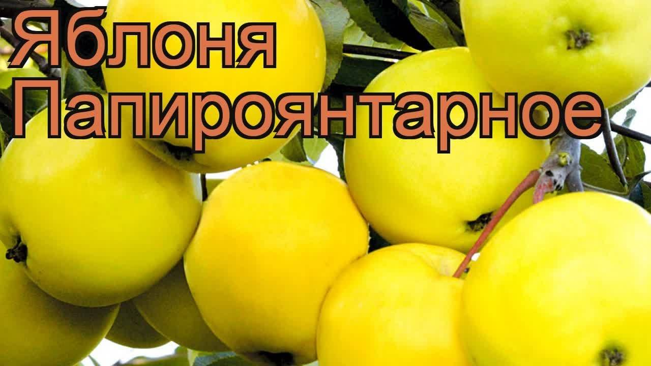 Яблоня янтарь