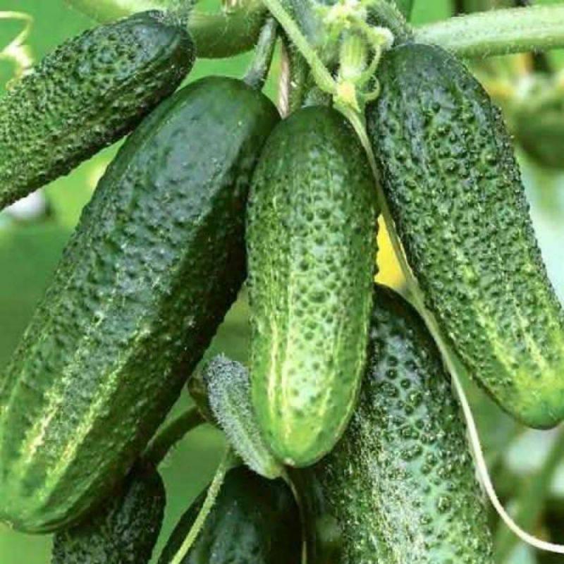 Огурец Журавленок f1: описание сорта, выращивание и уход с фото
