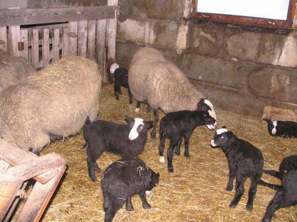 Сроки и техника стрижки овец, рекомендации по стрижке барана