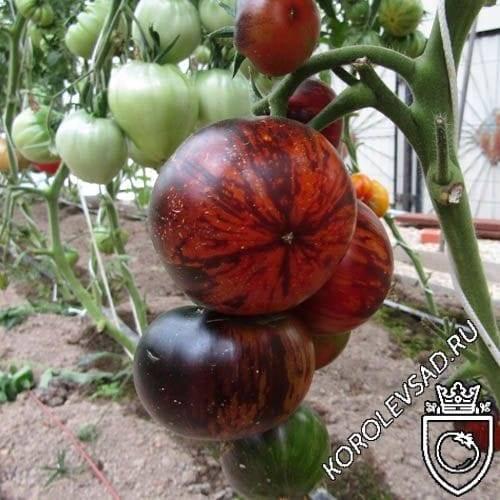 Описание сорта томата корейский длинноплодный и особенности выращивания
