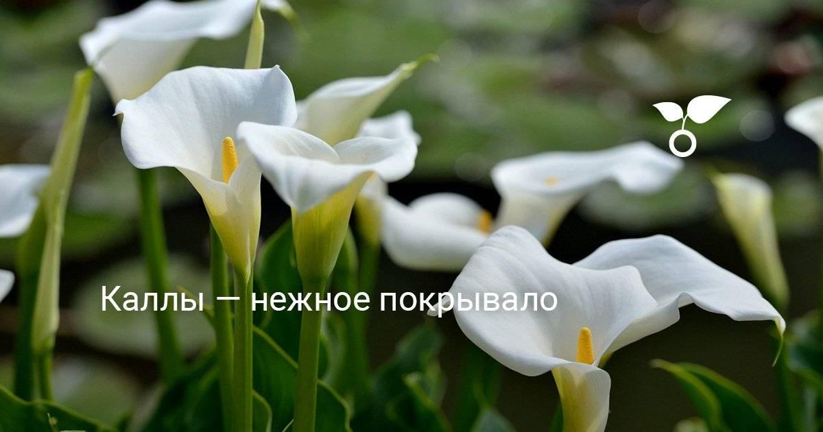 Эритрониум (кандык): выращивание и уход в саду