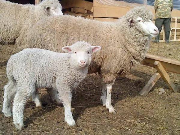 Половая зрелость и продолжительность цикла у овец