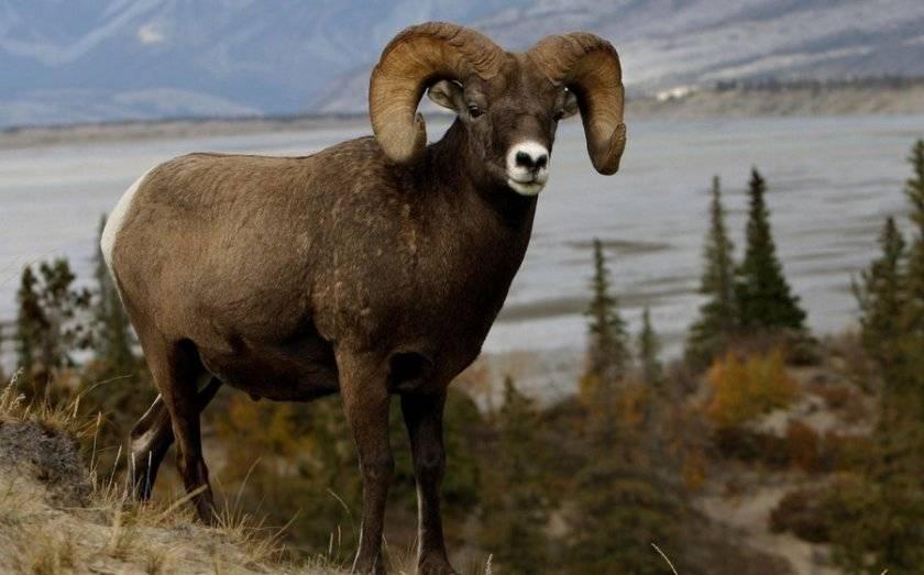 Бараны и овцы: характеристика, виды, уход, размножение