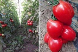 Характеристика и описание сорта томата малиновая империя, его урожайность