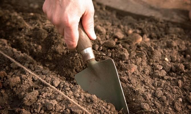 Секреты и пошаговая агротехника выращивания и ухода за свеклой в открытом грунте