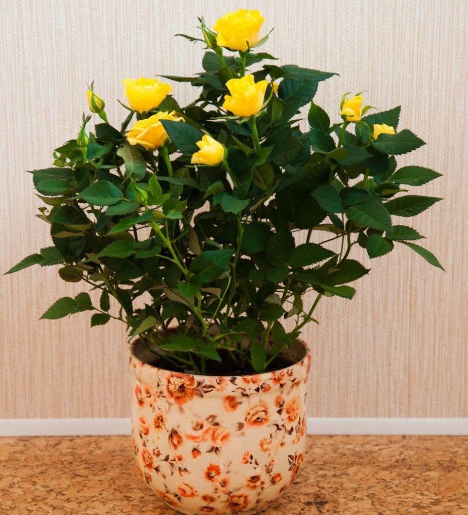 Комнатная роза – условия для ухода в домашних условиях, выбор цветка в магазине. как бороться с болезнями и вредителями