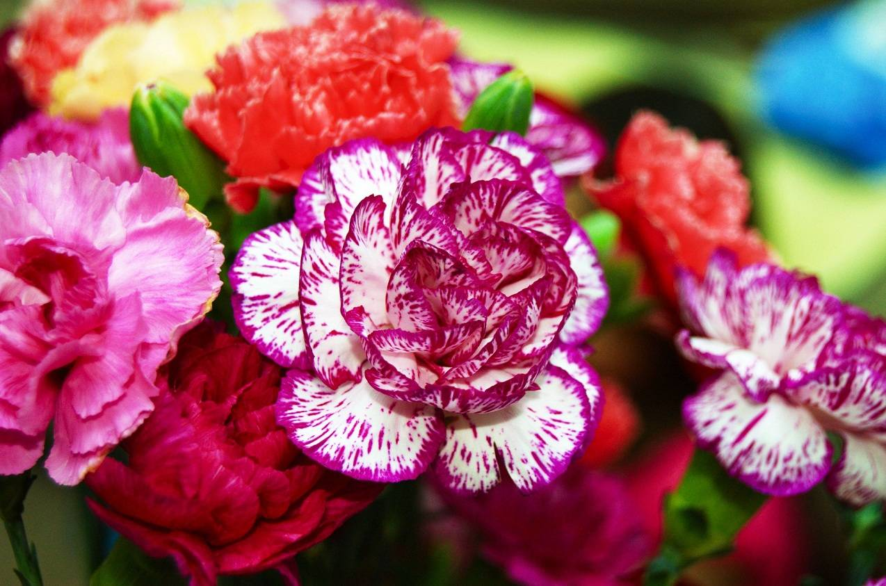 Бордюрные цветы многолетние низкорослые