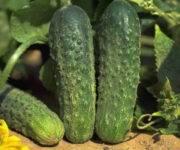 Ранне созревающий гибрид огурцов «атлантис f1»: фото, видео, описание, посадка, характеристика, урожайность, отзывы