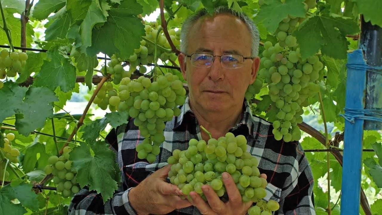 Фунгициды для винограда — список препаратов системного действия, от милдью и оидиума