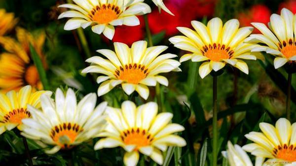 Цветок газания: посадка и уход в открытом грунте