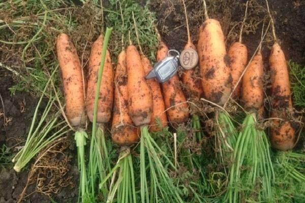 Характеристика моркови шантанэ и особенности её выращивания