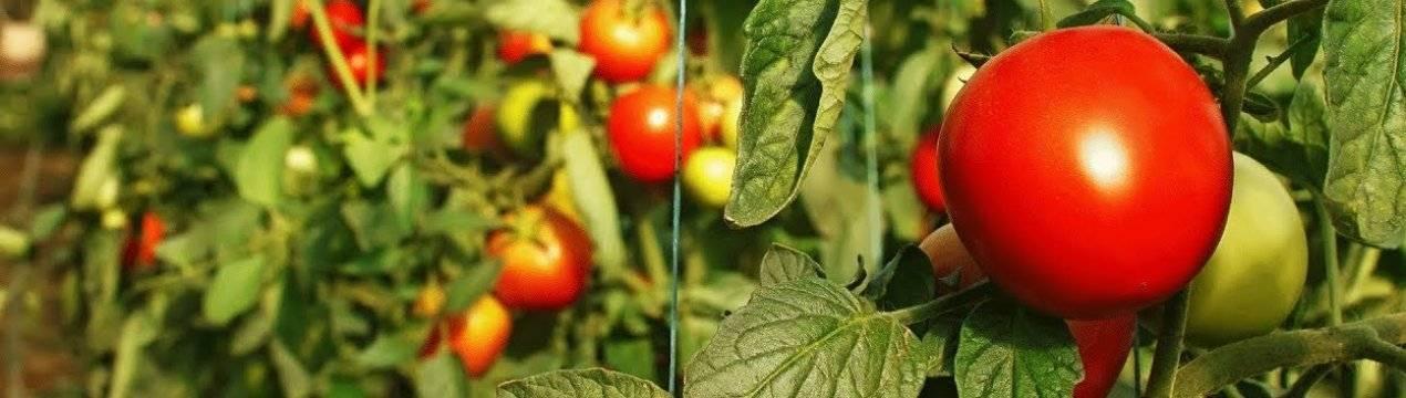 Трихопол для растений применение