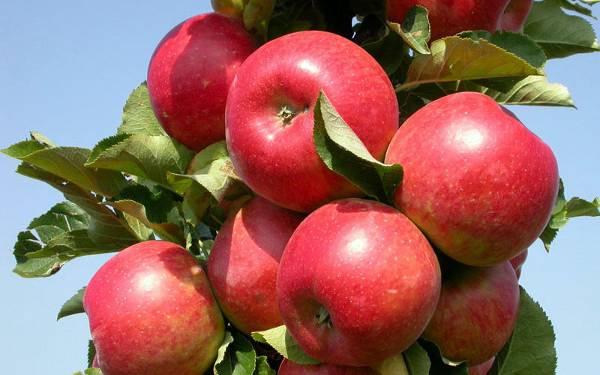 Описание и характеристики яблок сорта макинтош, особенности посадки и ухода