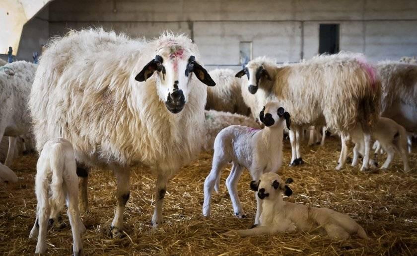 Страны-лидеры по овцеводству и где развита эта отрасль, где больше поголовье