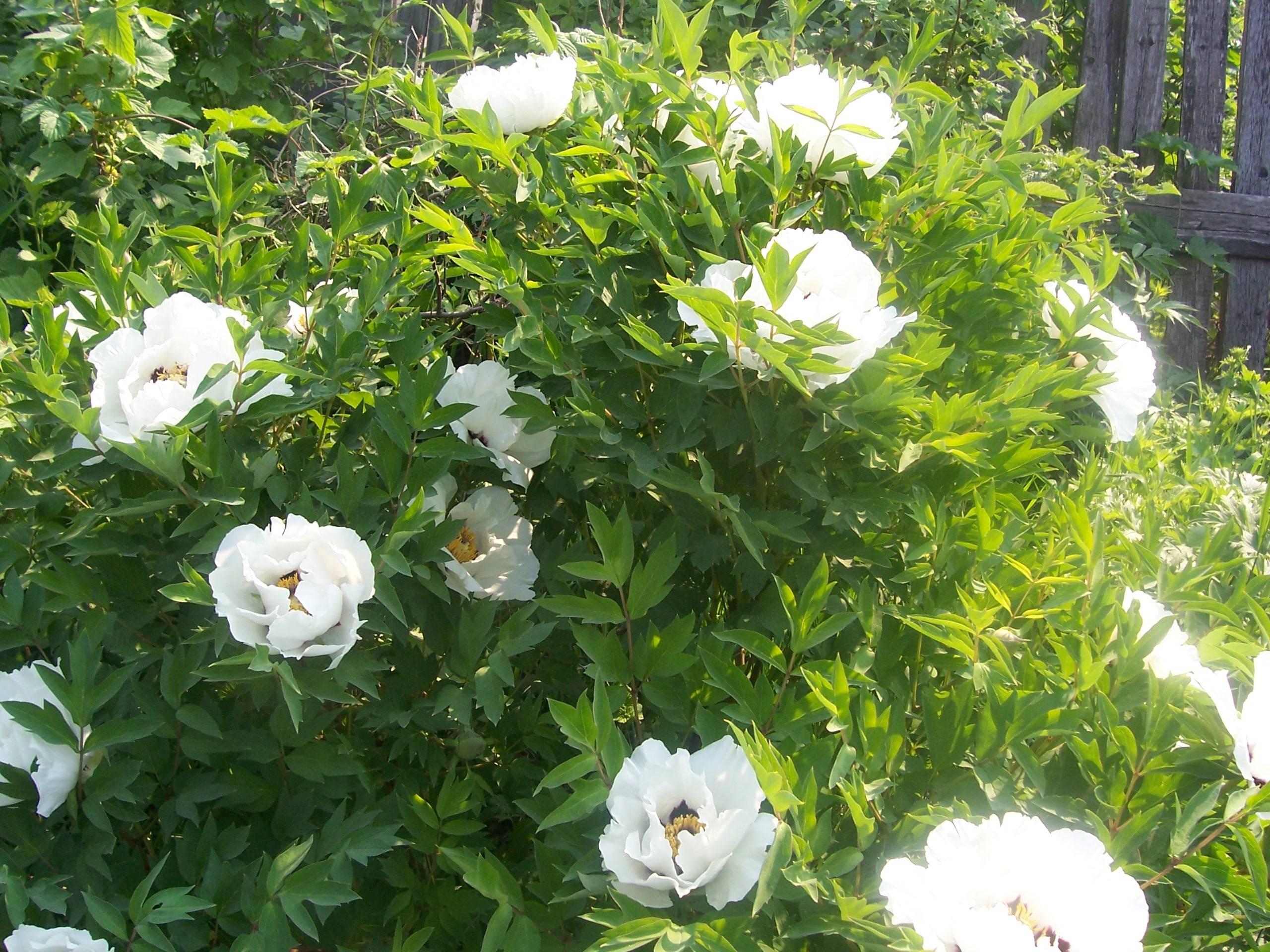 Пион древовидный уход и выращивание пересадка размножение