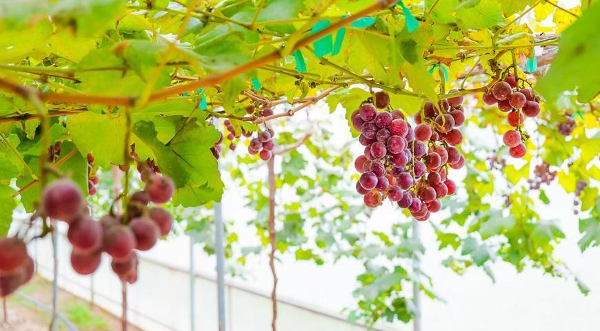 Технология выращивания винограда в теплицах из поликарбоната