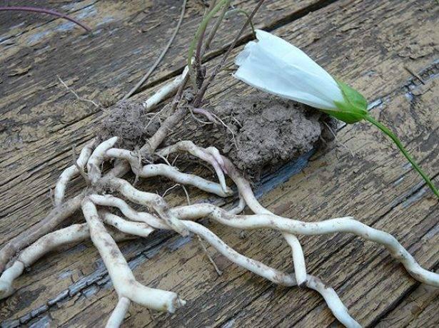 Вьюнок полевой: как навсегда избавиться от сорняка