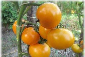 Описание сорта томата северная королева с отзывами огородников