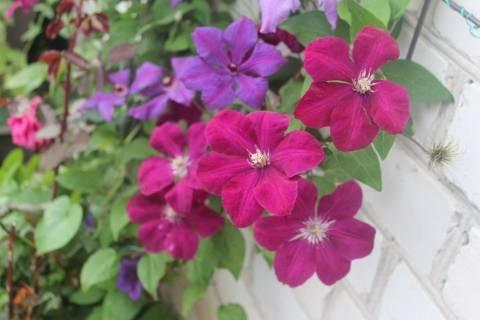 Махровые клематисы: сорта для выращивания на дачном участке. клематис руж кардинал: характеристики, посадка и уход