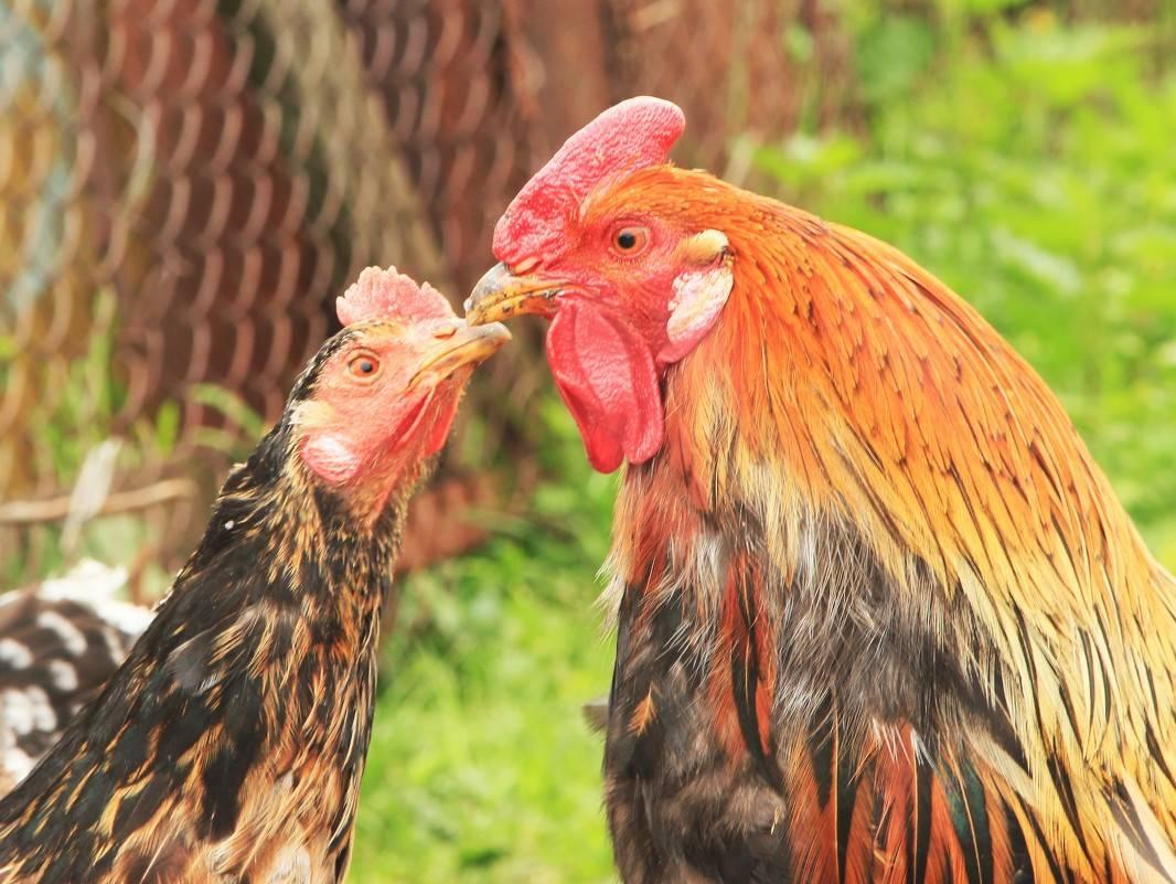 Как петух топчет курицу: описание процесса. если самец не оплодотворяет самок, несут ли они яйца
