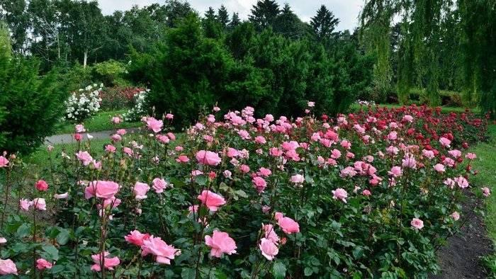 Посадка роз осенью: когда и как правильно сажать