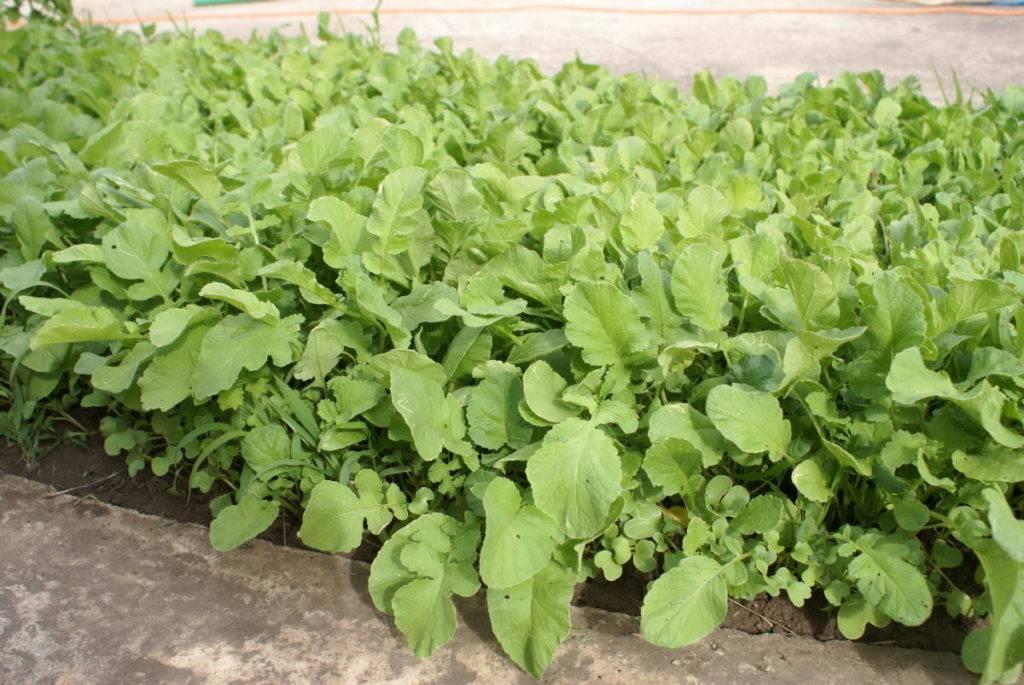 Когда и как сажать редьку в открытый грунт: правила выращивания и ухода