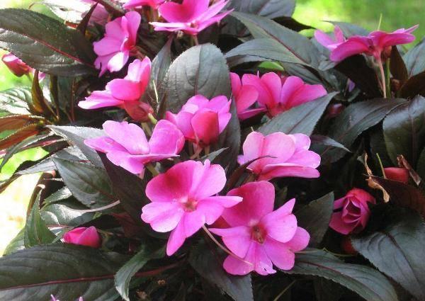 Разновидности и сорта цветка Ванька мокрый с описанием и характеристиками