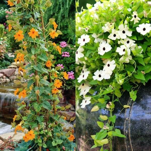 Тунбергия выращивание лианы в горшках и в саду