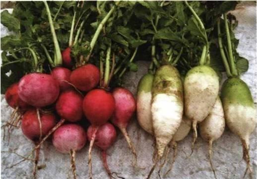 Самые вкусные и урожайные сорта репы