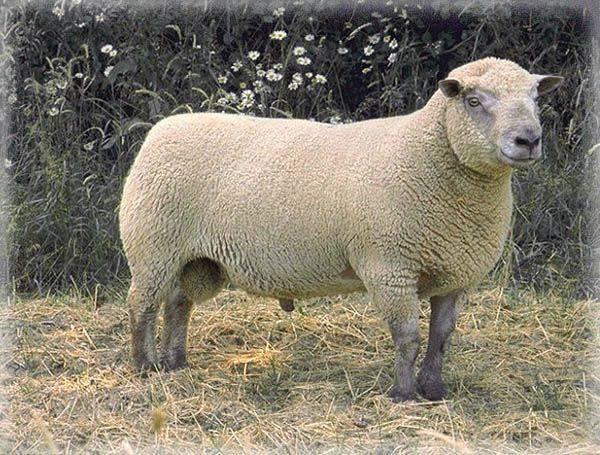Какие породы овец лучше разводить?