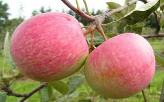 Летний сорт яблок с прекрасным иммунитетом — яблочный спас