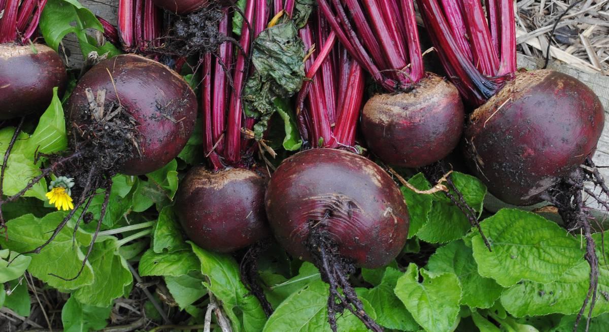 Лучшие сорта столовой свеклы: описание особенностей, а так же рекомендации по выращиванию