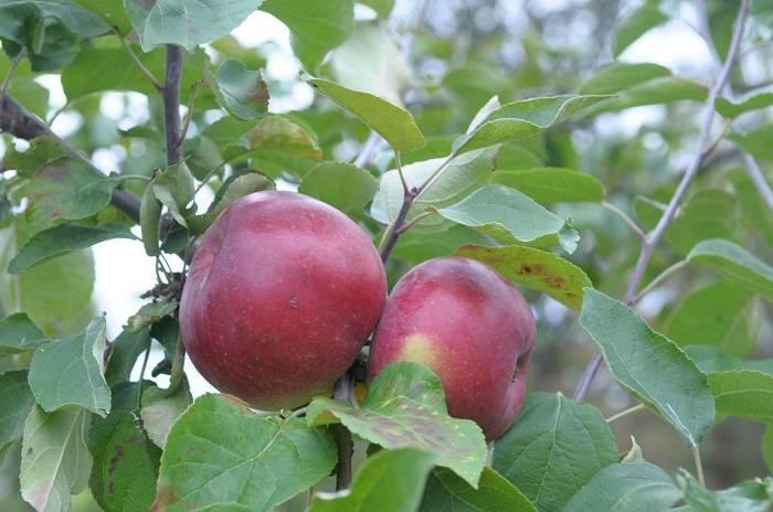 Яблоня белорусское сладкое: характеристики сорта и 10 рекомендаций по правильному выращиванию