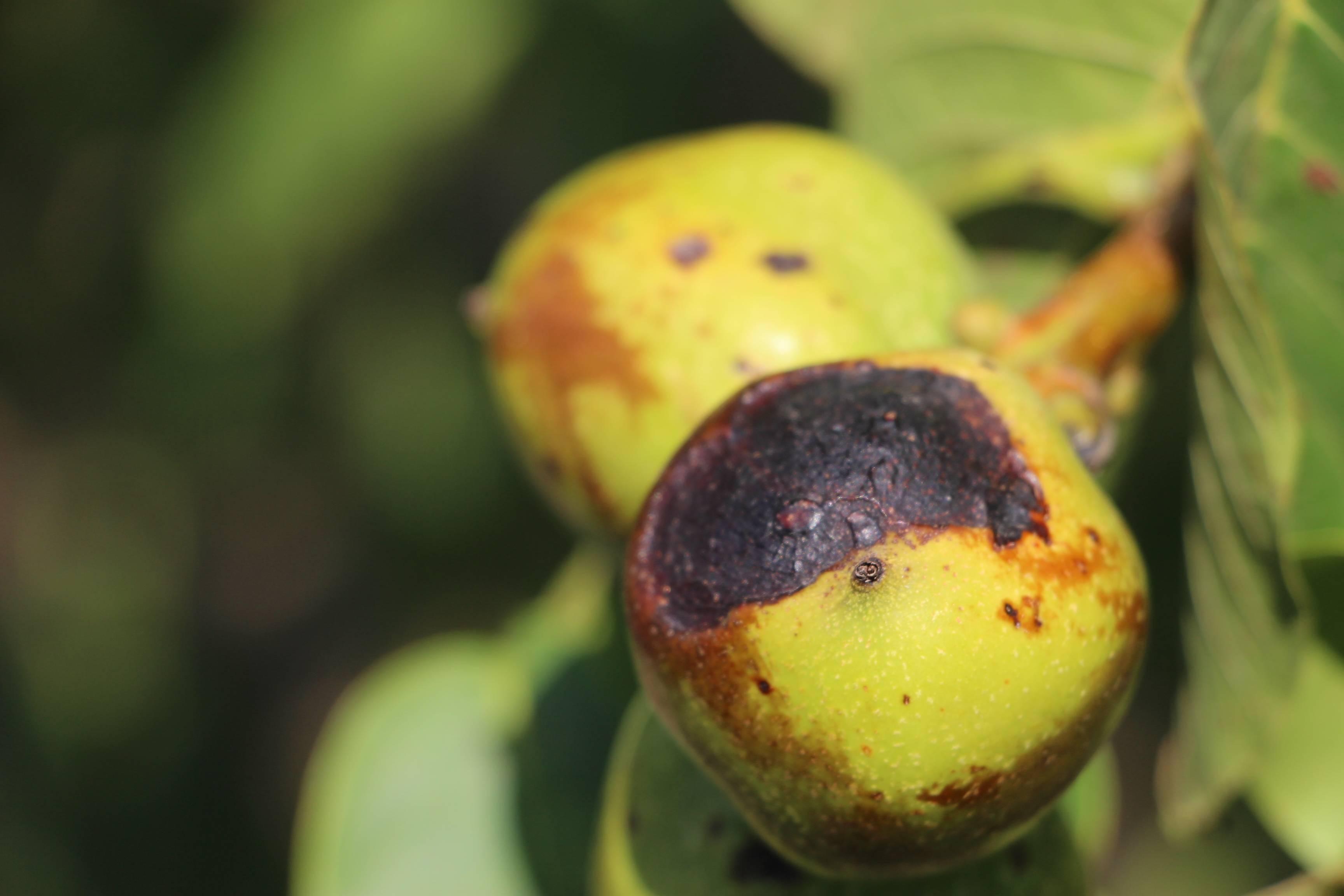 Болезни грецкого ореха: описание и способы борьбы