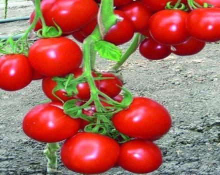 Характеристики и описание хорошо зарекомендовавшего себя сорта томата «примадонна» f1