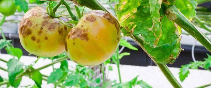 Трихопол для рассады помидоров
