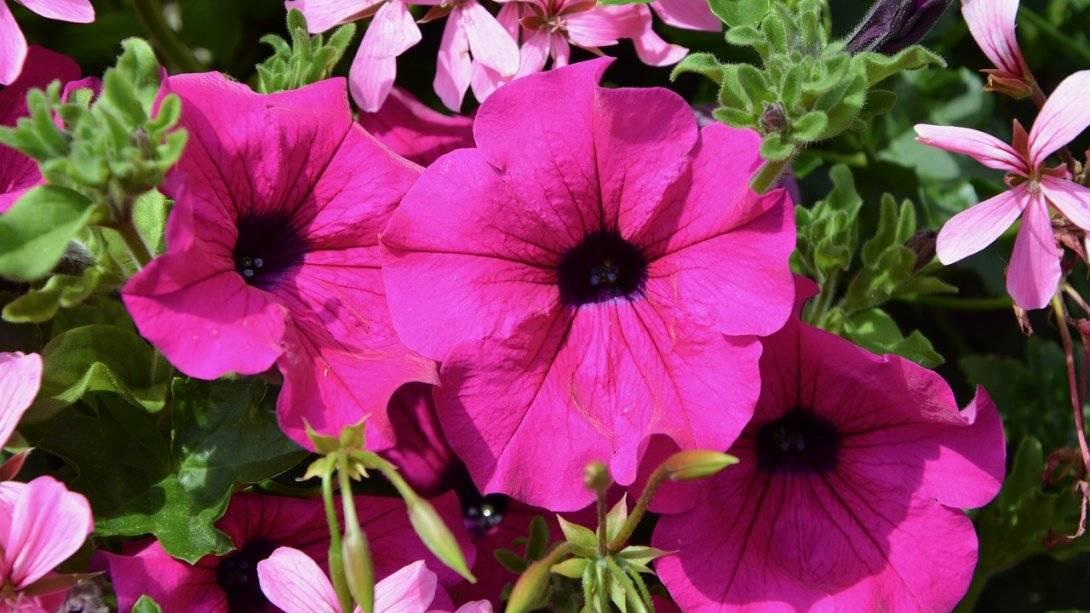 Садовый цветок петуния: многолетний или нет? как ухаживать за растением?