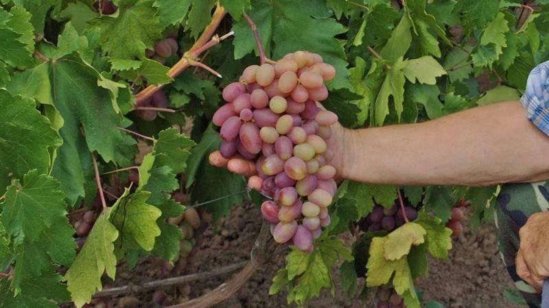 Нормировка завязей и побегов виноградного куста, прореживание гроздей