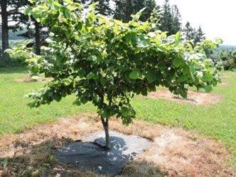Морозостойкая глициния в подмосковье: посадка, выращивание и правильный уход