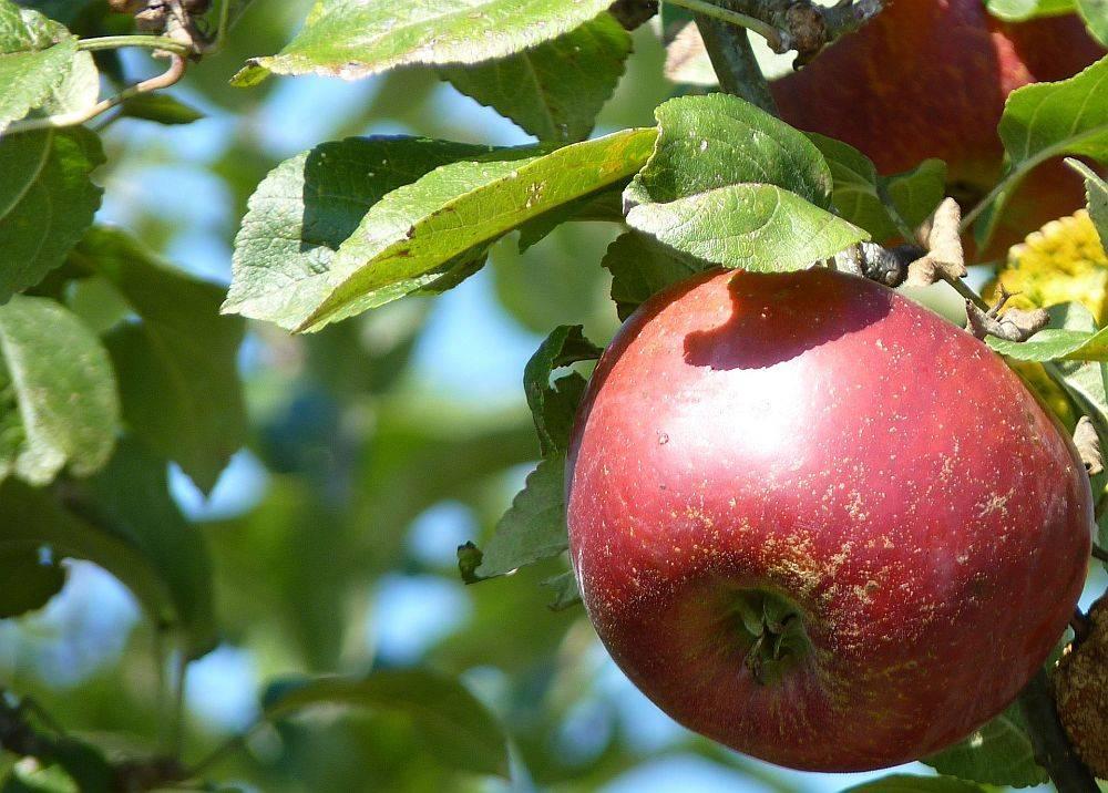 Яблони сорта «апорт»: описание и особенности выращивания