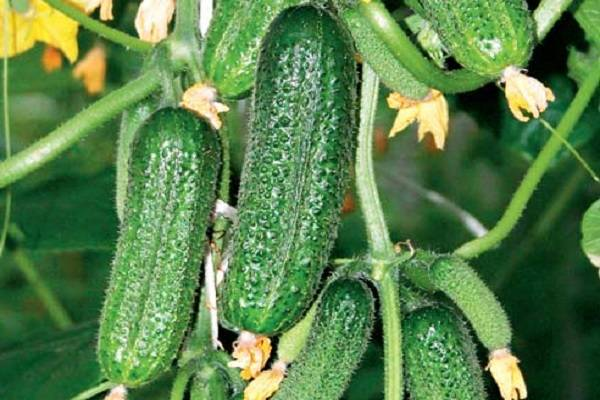 Описание сорта огурцов Муму, особенности выращивания и ухода