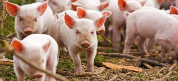 Низкая температура у свиней симптомы и лечение